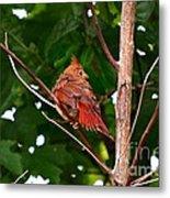 Cardinal Bird Baby Metal Print