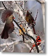 Cardinal Colony Metal Print