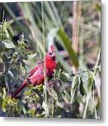 Cardinal In Bush Iv Metal Print