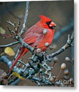 Cardinal In The Berries Metal Print