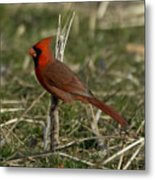 Cardinal In The Field Metal Print