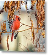 Cardinal In The Pokeberries Metal Print
