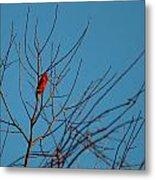 Cardinal Morning Metal Print