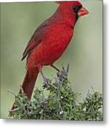Cardinal On Tree Metal Print