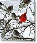 Cardinal With White Throated Sparrows Metal Print