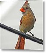 Cardinal Young Female Metal Print