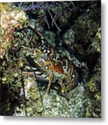 Caribbean Reef Lobster On Night Dive Metal Print