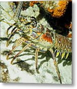 Caribbean Spiny Reef Lobster  Metal Print