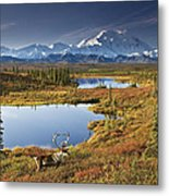 Caribou On Tundra In Denali Metal Print