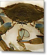 Carolina Blue Crab Metal Print