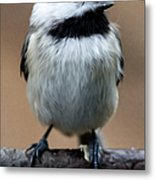 Carolina Chickadee Metal Print