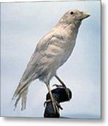 Carrion Crow, Mounted Albino Specimen Metal Print