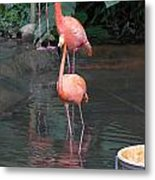 Cartoon - A Flamingo In The Small Lake In Their Exhibit In The Jurong Bird Park Metal Print