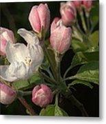 Cascade Of Apple Blossoms Metal Print