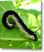 Catalapa Sphinx Caterpillar Metal Print
