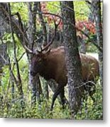 Cataloochee Bull Elk Metal Print