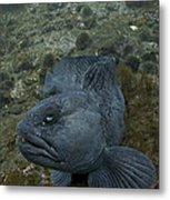 Catfish. Metal Print