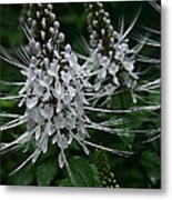Cats Whiskers Kitty Whiskers Java Tea Orthosiphon Aristatus Nahiku Rainforest Maui Hawaii Metal Print