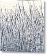 Cattails Typha Latifolia Covered In Snow Metal Print