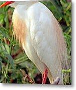 Cattle Egret Adult In Breeding Plumage Metal Print