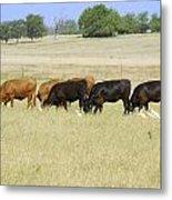 Cattle Grazing Metal Print