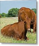 Cattle Grazing In Field Metal Print