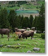 Cattle Grazing In The Pyrenees Metal Print