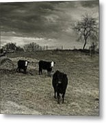 Cattle In The Winter Pasture Series Image 2 Metal Print