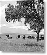 Cattle Ranch In Summer Metal Print