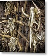 Cattle Skulls On Display In Santa Fe Metal Print