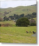 Cattles At Fernandez Ranch California - 5d21061 Metal Print