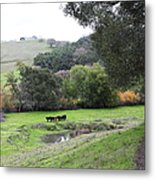 Cattles At Fernandez Ranch California - 5d21066 Metal Print by Wingsdomain Art and Photography