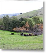 Cattles At Fernandez Ranch California - 5d21070 Metal Print by Wingsdomain Art and Photography
