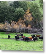 Cattles At Fernandez Ranch California - 5d21071 Metal Print by Wingsdomain Art and Photography