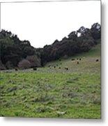 Cattles At Fernandez Ranch California - 5d21104 Metal Print