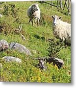 Cautious Sheep In The Pasture Metal Print