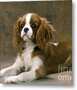Cavalier King Charles Spaniel Dog Lying Metal Print