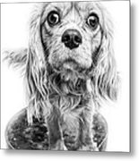 Cavalier King Charles Spaniel Puppy Dog Portrait Metal Print