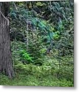 Cedar Along The Trail Of Cedars Glacier National Park Painted Metal Print