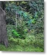 Cedar Along The Trail Of Cedars Glacier National Park  Metal Print