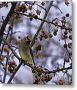 Cedar Waxwing Eating Berries 11 Metal Print