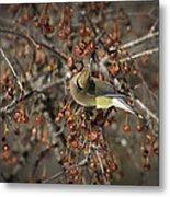 Cedar Waxwing Eating Berries 5 Metal Print
