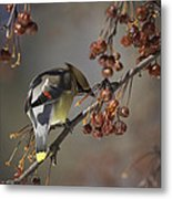 Cedar Waxwing Eating Berries 7 Metal Print