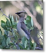 Cedar Waxwing On The Malheur National Forest Metal Print
