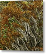 Cedars In The Fall Metal Print