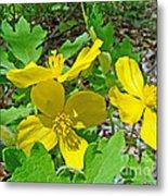 Celandine Poppy Or Wood Poppy - Stylophorum Diphyllum Metal Print