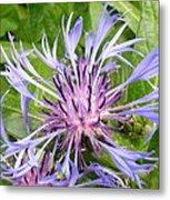 Centaurea Montana Blue Flower Metal Print