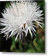 Centaurea Named The Bride Metal Print