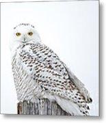 Centered Snowy Owl Metal Print