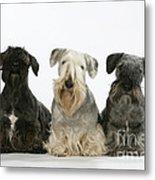 Cesky Terrier Dogs Metal Print
